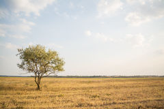 Yellow Field With One Tree Under Clouds Stock Photo