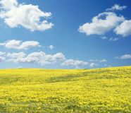 Yellow field panorama on a sunny day. Yellow field panorama on a bright sunny day royalty free stock images