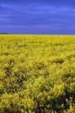 Yellow field after rain. Yellow field Stock Photo