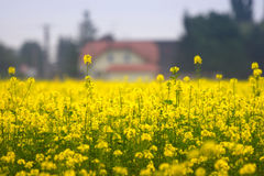 Yellow field of rape. With house on the background Royalty Free Stock Photos