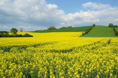 Yellow field rape Royalty Free Stock Photography