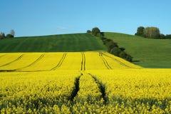 Yellow field rape Stock Image