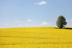 Yellow field rape in bloom with blue sky Stock Image