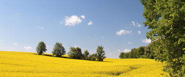 Yellow field rape in bloom with blue sky Royalty Free Stock Image