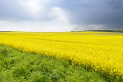 Yellow field of rape Stock Photography