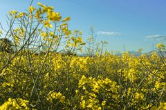 Yellow field of colza on a blue sky with clouds stock photography