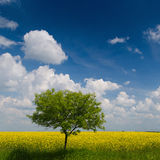 Yellow field of rape. / Canola Rapeseed Field Stock Photography