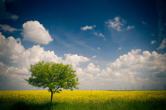 Yellow field of rape. / Canola Rapeseed Field Royalty Free Stock Photography