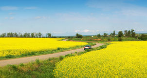Yellow field of rape and car Royalty Free Stock Image