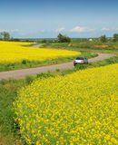 Yellow field of rape and car Stock Images