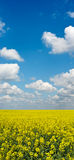 Yellow field of rape crop with blue sky above Royalty Free Stock Photography