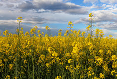 Yellow field - Rape Royalty Free Stock Image