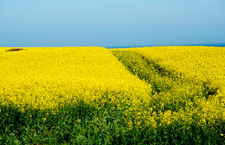 Yellow field of rape Royalty Free Stock Image