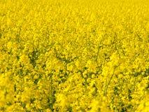 Yellow field of rape plant canola Royalty Free Stock Image