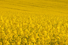 Yellow field of rape plant canola Royalty Free Stock Images
