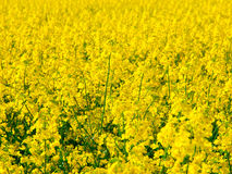 Yellow field of rape plant canola Royalty Free Stock Photography