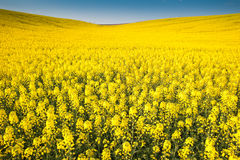 Yellow field rapeseed Stock Images