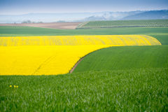 Yellow field rapeseed Royalty Free Stock Photography