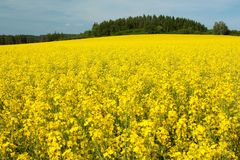 Yellow field of rapeseed Stock Photos