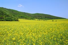 Yellow field rapeseed in bloom Stock Photography
