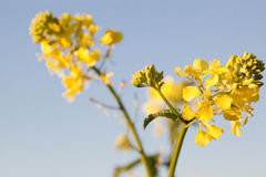 Yellow field rapeseed in bloom with blue sky background in Spring Royalty Free Stock Photos