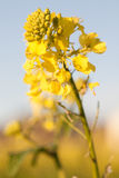 Yellow field rapeseed in bloom with blue sky background in Spring Stock Photos