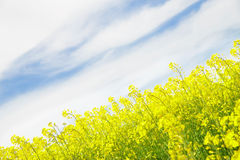 Yellow field rapeseed. Stock Photography