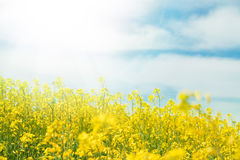 Yellow field rapeseed. Stock Image