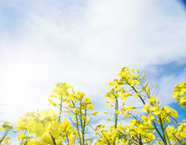 Yellow field rapeseed. Stock Images
