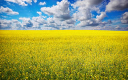 Yellow field rapeseed in bloom with blue sky Stock Images