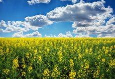 Yellow field rapeseed in bloom with blue sky Royalty Free Stock Photos