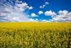 Yellow field rapeseed in bloom with blue sky Royalty Free Stock Photo