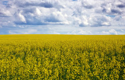 Yellow field rapeseed in bloom and cloudy sky Stock Images