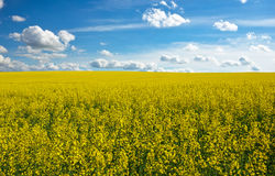 Yellow field rapeseed in bloom and cloudy sky Royalty Free Stock Photography
