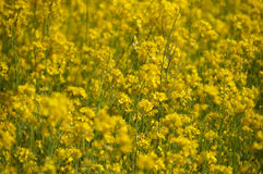 Yellow field rapeseed in bloom, India Royalty Free Stock Photos