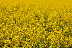 Yellow field rapeseed in bloom Royalty Free Stock Images