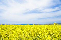 Yellow field rapeseed. Royalty Free Stock Images