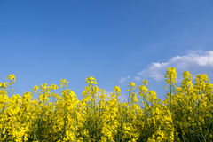 Yellow field rapeseed Royalty Free Stock Image