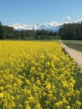 Yellow, Field, Rapeseed, Canola stock image