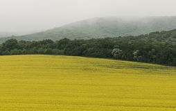Yellow field of rapeseed oil in a foggy day. With young forest background Royalty Free Stock Photography