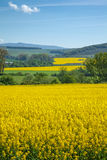 Yellow field rapeseed Stock Photos