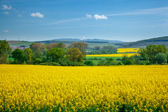 Yellow field rapeseed Stock Photography