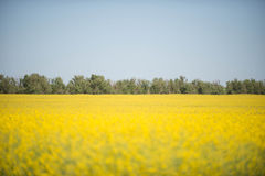 Yellow field. Yellow rapeseed field in the spring Royalty Free Stock Images
