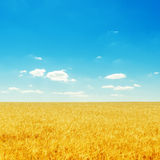 yellow field with ripe harvest and deep blue sky Stock Photo