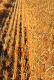 Yellow field with ripe wheat Royalty Free Stock Photos