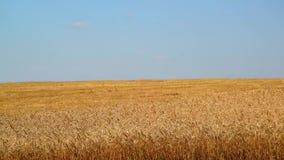 Yellow field of ripe wheat half chamfered stock video