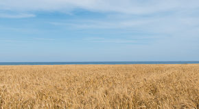Yellow field, sea and blue sky Stock Photography