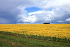 Yellow field sown with rape. The side of the asphalt road Royalty Free Stock Images