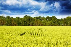 Yellow field on summer day Stock Images