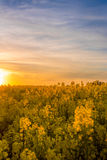 Yellow field with sun in background at a golden sunset. Taken near the city of Boderne, on the island of Bornholm, Denmark. May 25, 2017 stock images